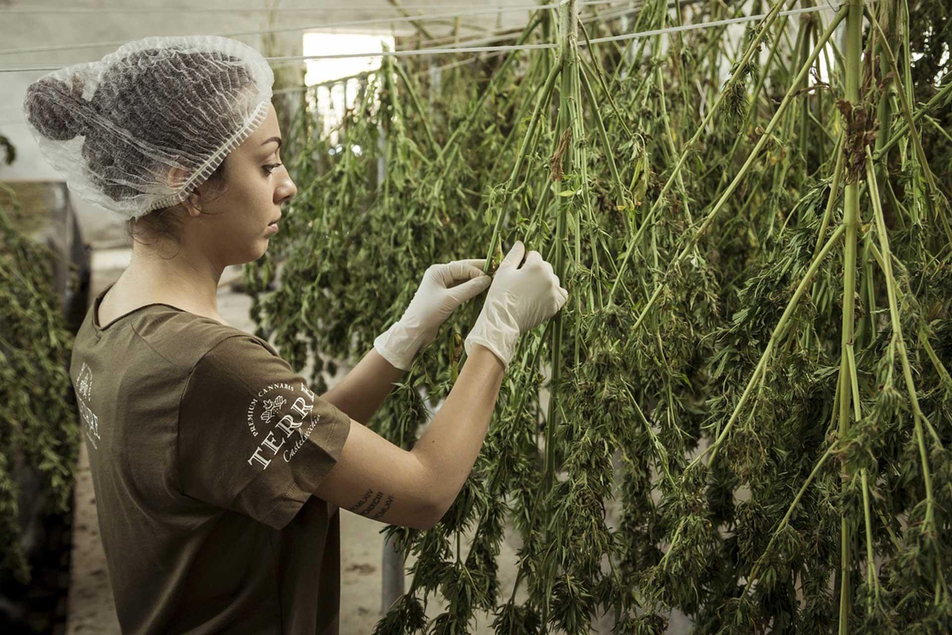 Cannabis is an ancient crop